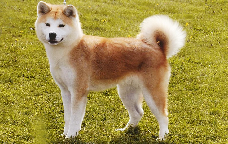 Akita - WHICH ARE THE MOST EXPENSIVE DOG BREEDS IN THE WORLD?