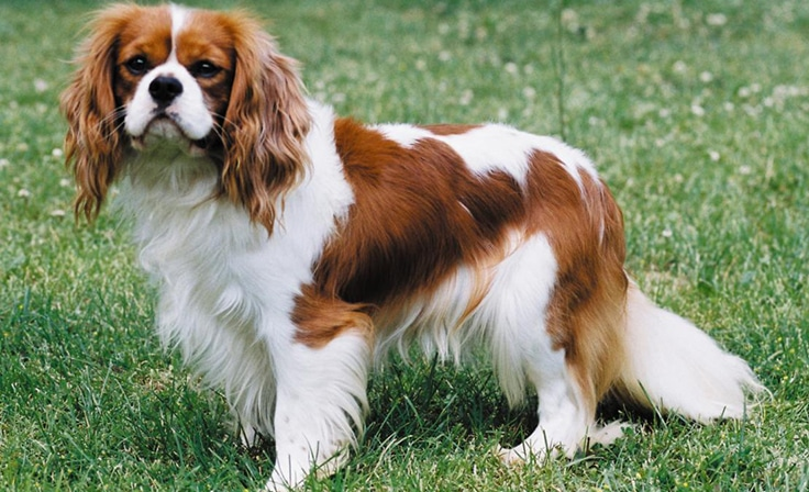 Cavalier King Charles Spaniel - WHICH ARE THE MOST EXPENSIVE DOG BREEDS IN THE WORLD?