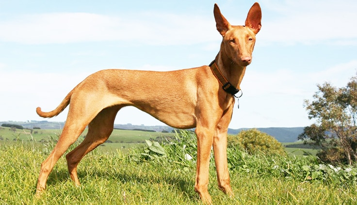 Egyptian Pharaoh Hound - WHICH ARE THE MOST EXPENSIVE DOG BREEDS IN THE WORLD?