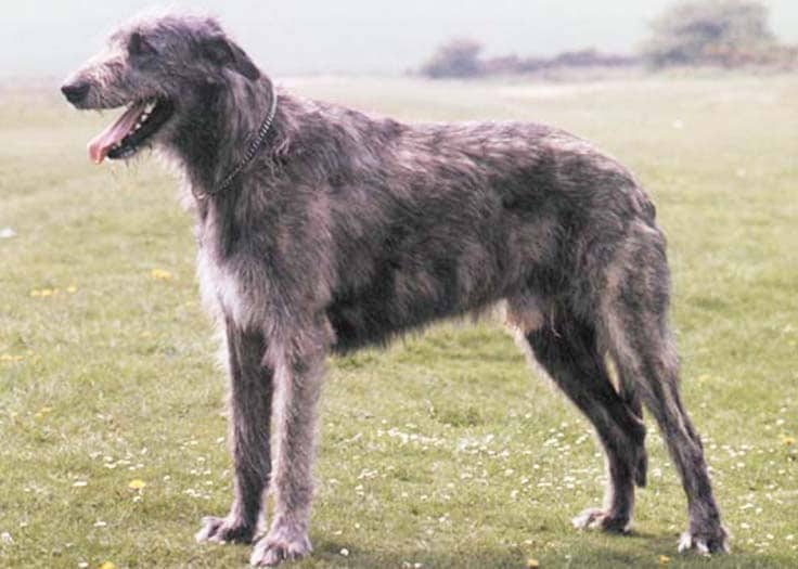 Irish Wolfhound - WHICH ARE THE MOST EXPENSIVE DOG BREEDS IN THE WORLD?