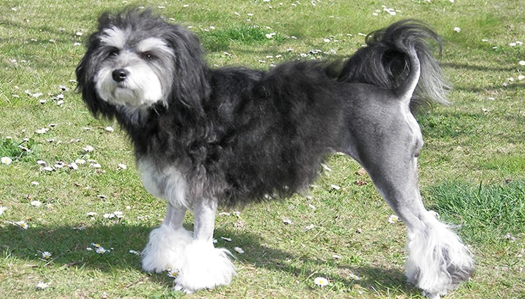 Lowchen Pubby - WHICH ARE THE MOST EXPENSIVE DOG BREEDS IN THE WORLD?