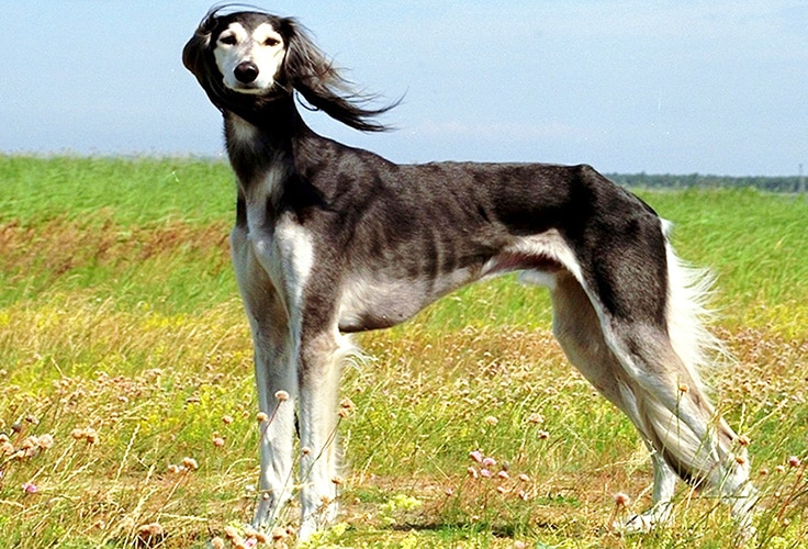 Saluki - WHICH ARE THE MOST EXPENSIVE DOG BREEDS IN THE WORLD?